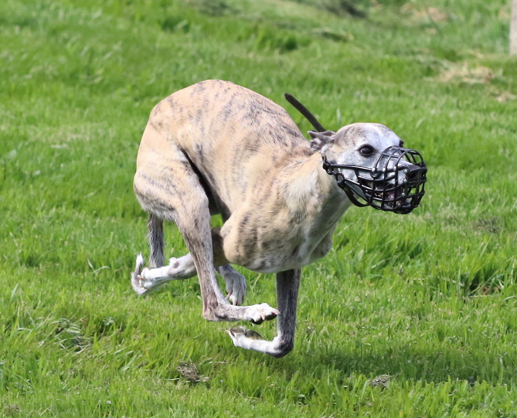 whippet course PVL